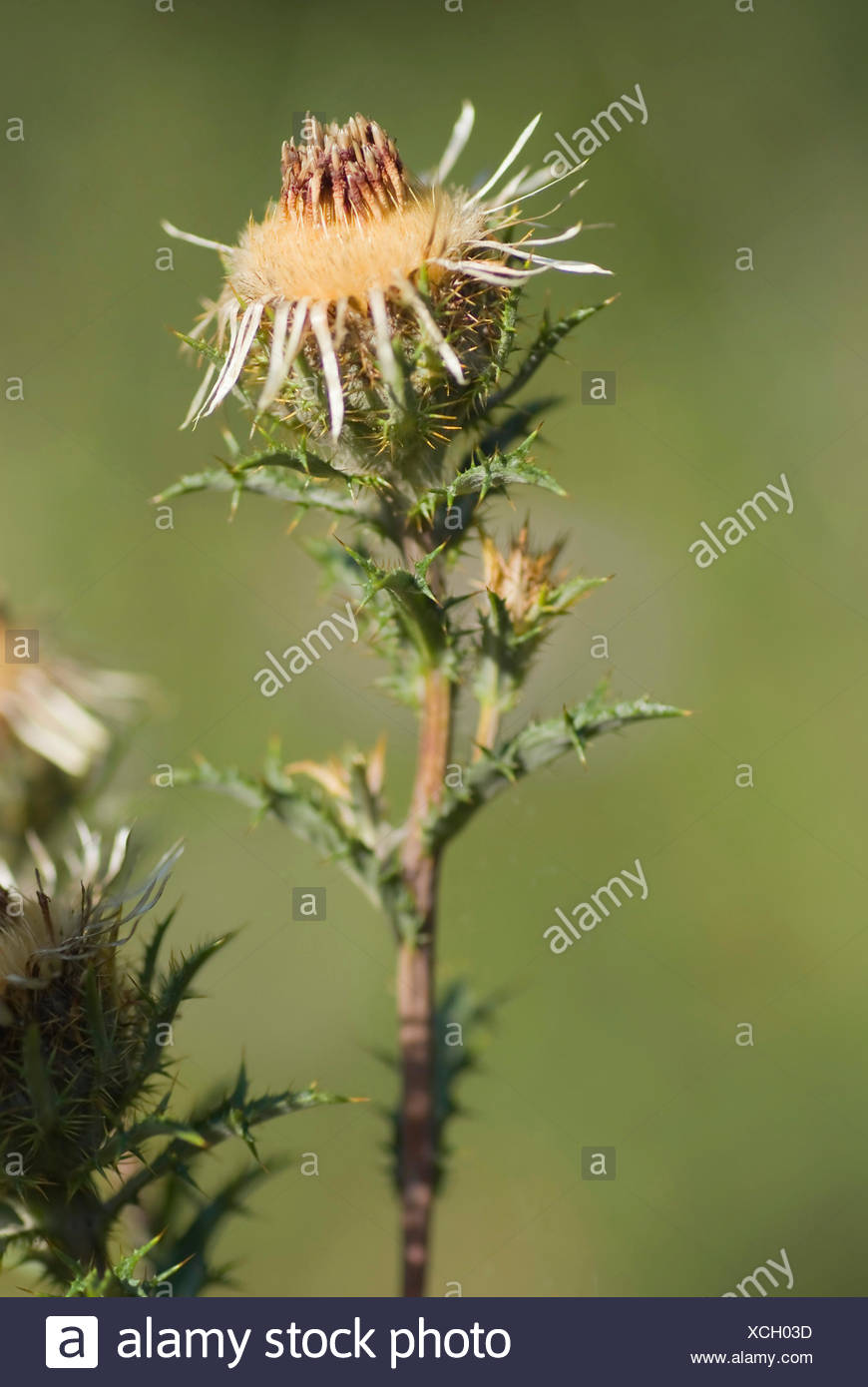 Carline thistle (Carlina vulgaris), fruiting, Germany - Stock Image