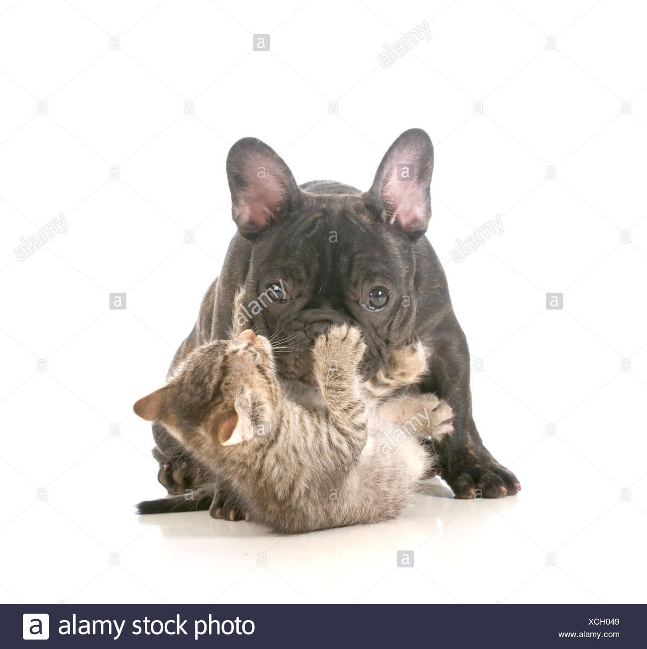puppy and kitten playing - french bulldog puppy being attacked by a young playful kitten isolated on white background Stock Photo