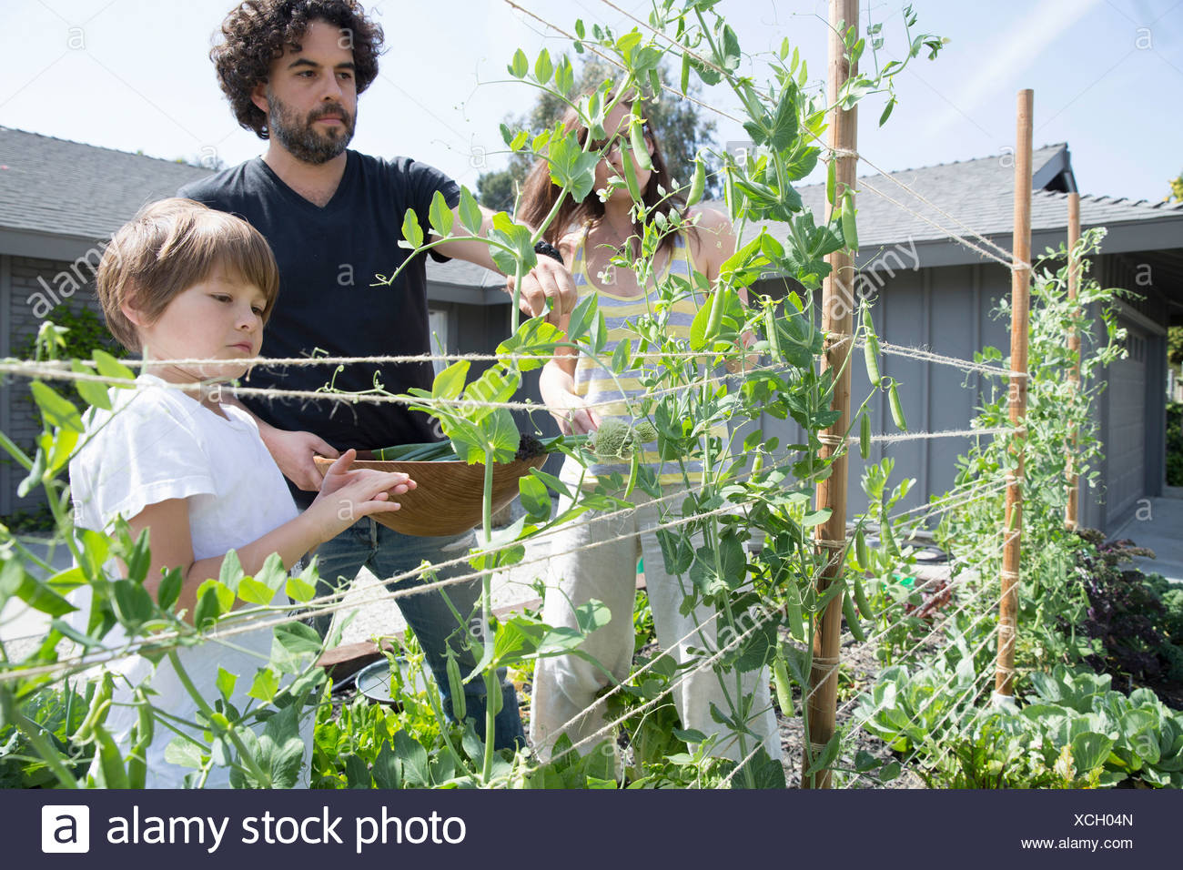 Family with one boy harvesting peas in garden - Stock Image
