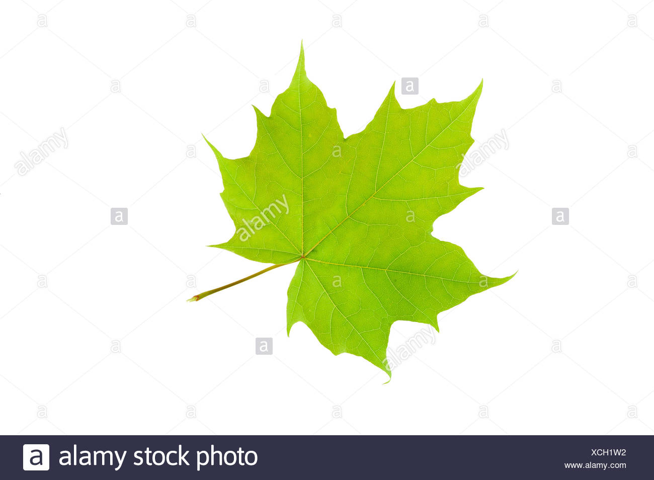 Close-up of a green maple leaf over white background - Stock Image