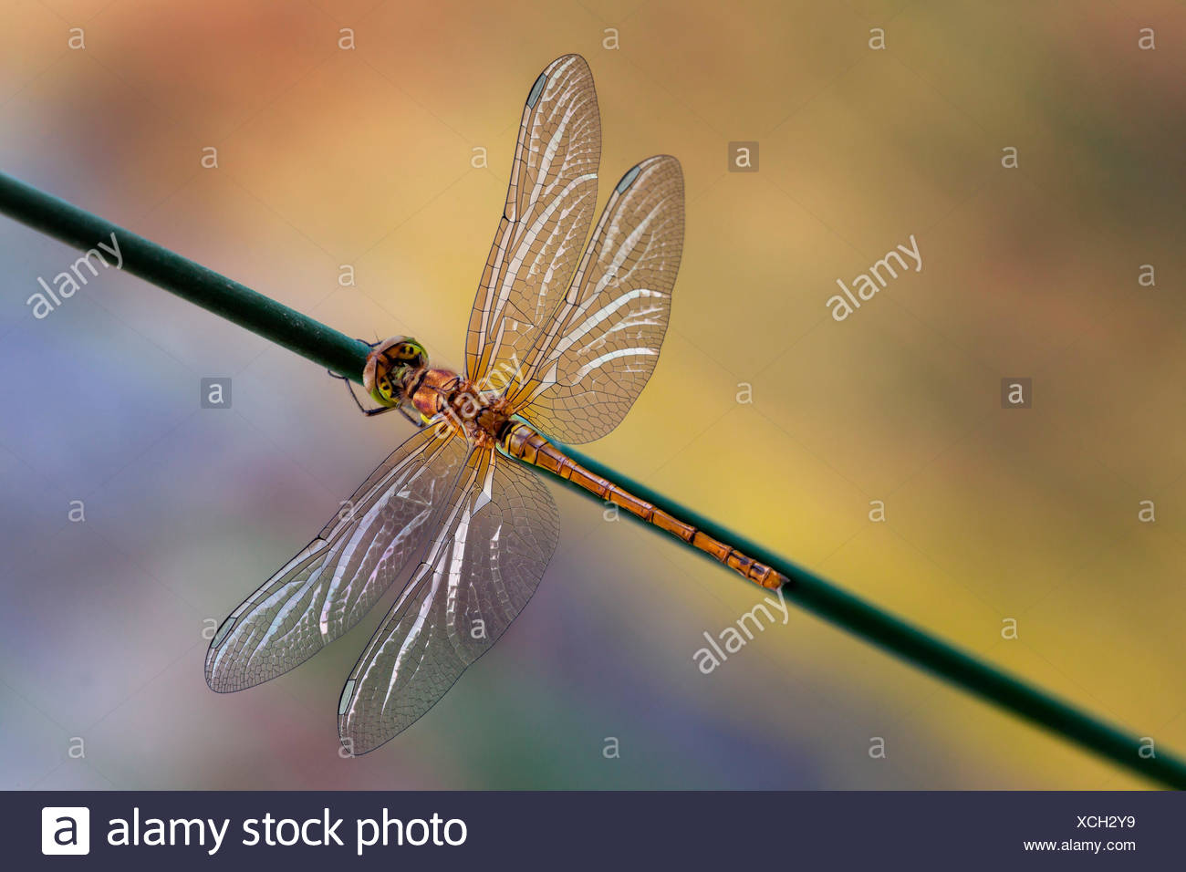 Sympetrum striolatum on the stem, two-tone background - Stock Image