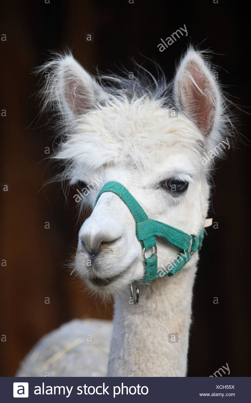 Alpaca, Stock Photo