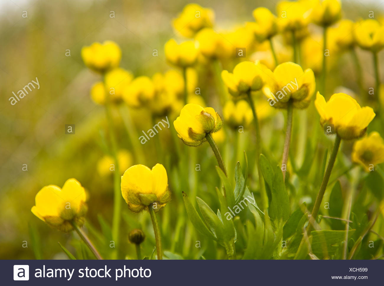 Tundra Buttercup Stock Photos Tundra Buttercup Stock Images Alamy