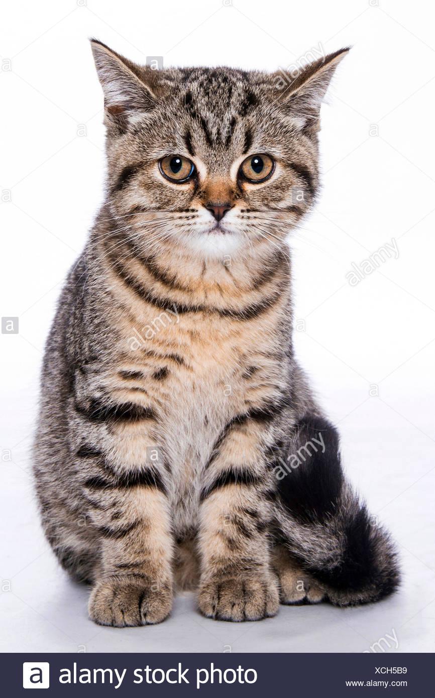British Shorthair (Felis silvestris f. catus), sitting little striped kitten, full-length portrait - Stock Image
