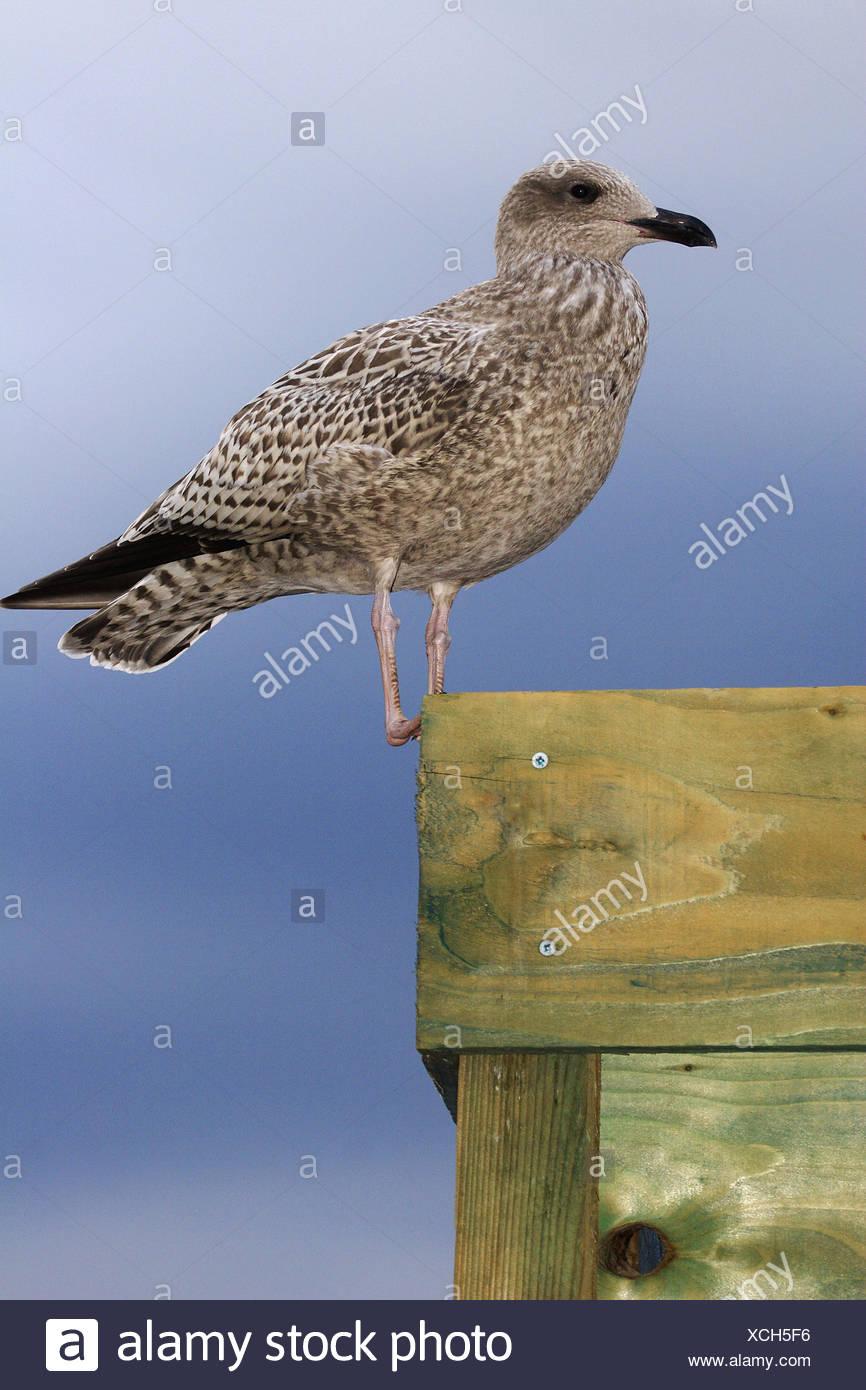 Juvenile Herring Gull (Larus argentatus). Oban, Argyll, Scotland, UK - Stock Image