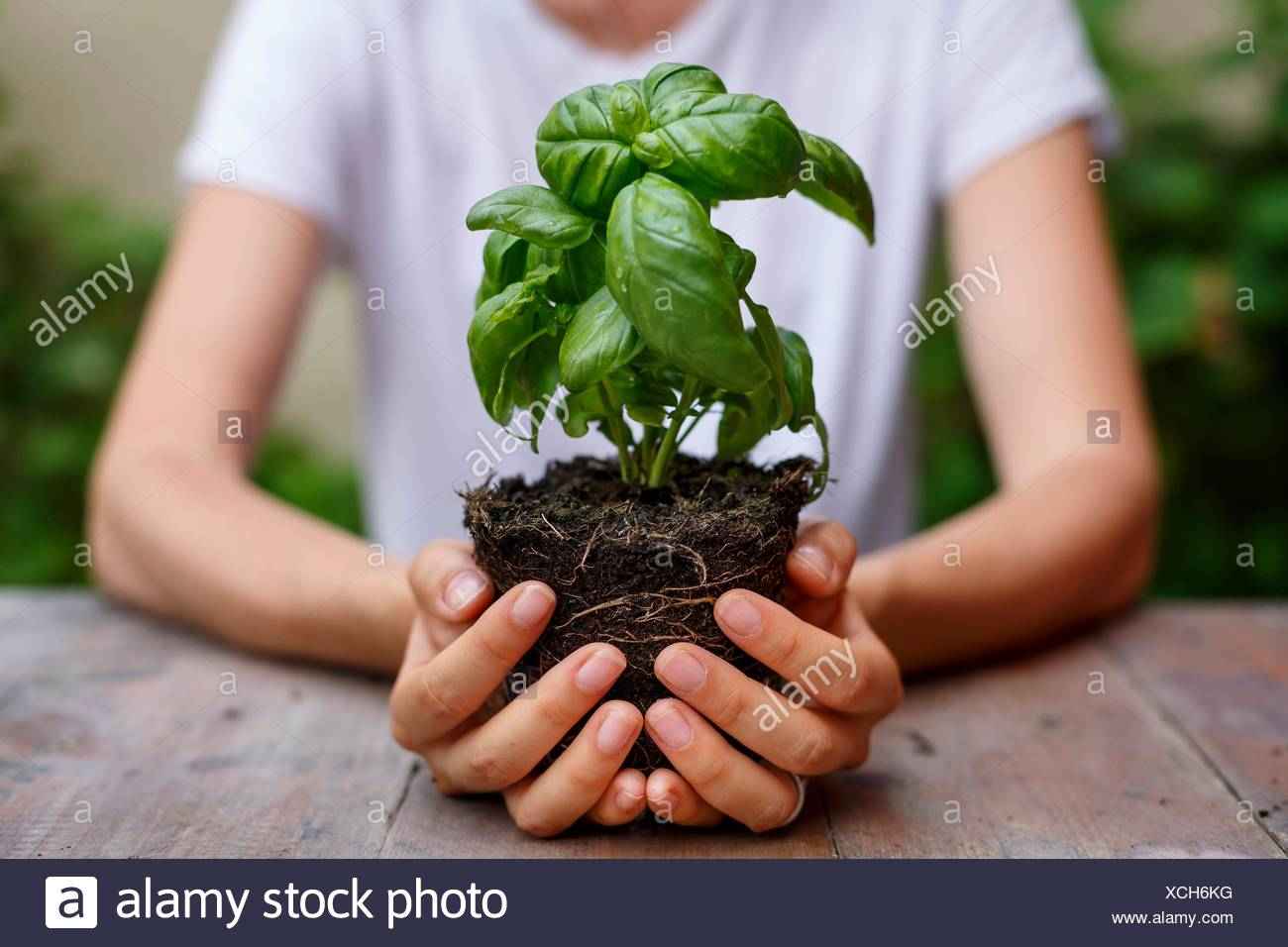 Cropped view of hands holding basil plant - Stock Image