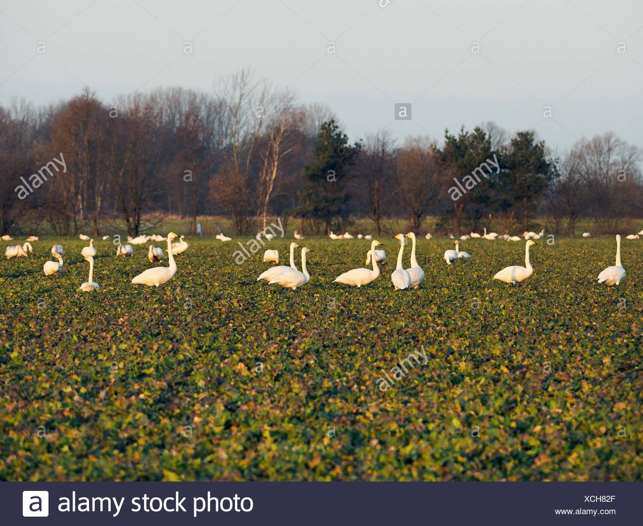 Singschwan, Sing-Schwan (Cygnus cygnus), Singschwaene auf einem Feld, Deutschland, Sachsen, Obere Lausitz | whooper swan (Cygnus Stock Photo