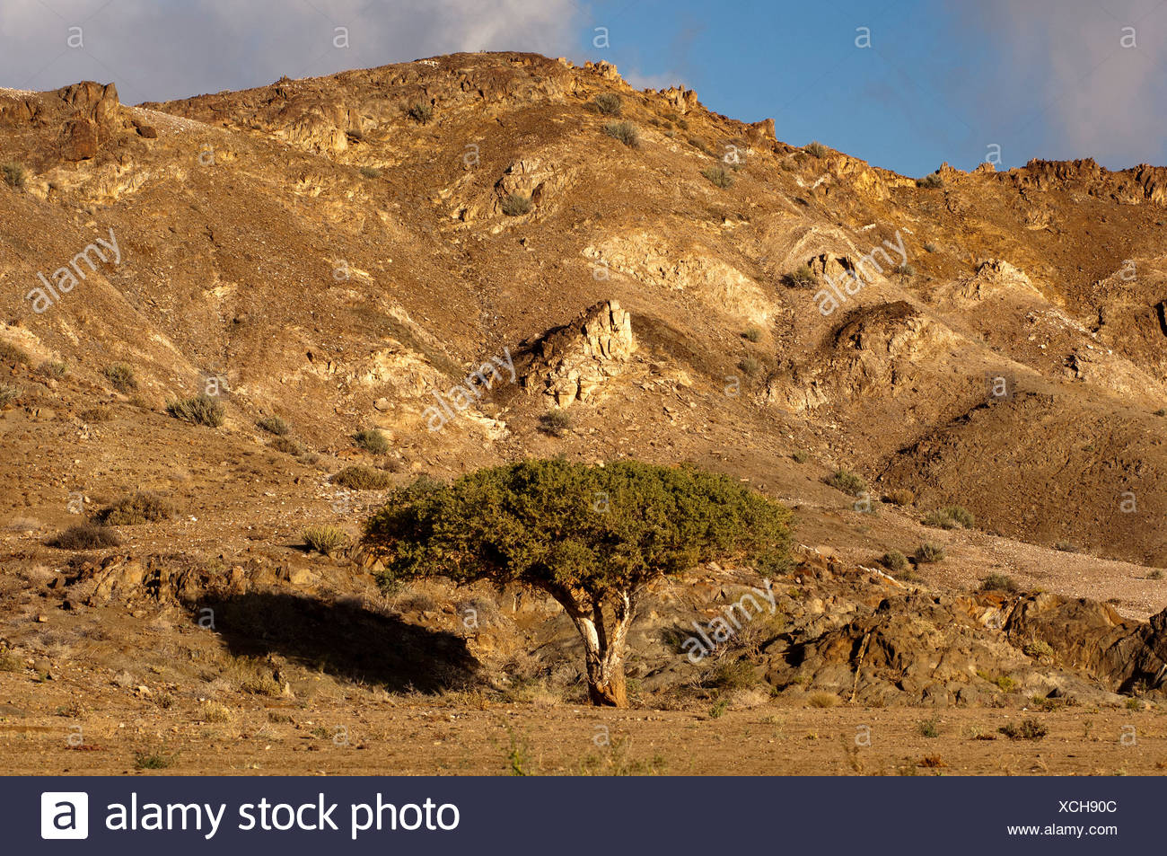 Witgatboom, Matoppie, Shepherd's Tree (Boscia albitrunca), Richtersveld National Park, Northern Cape, South Africa - Stock Image