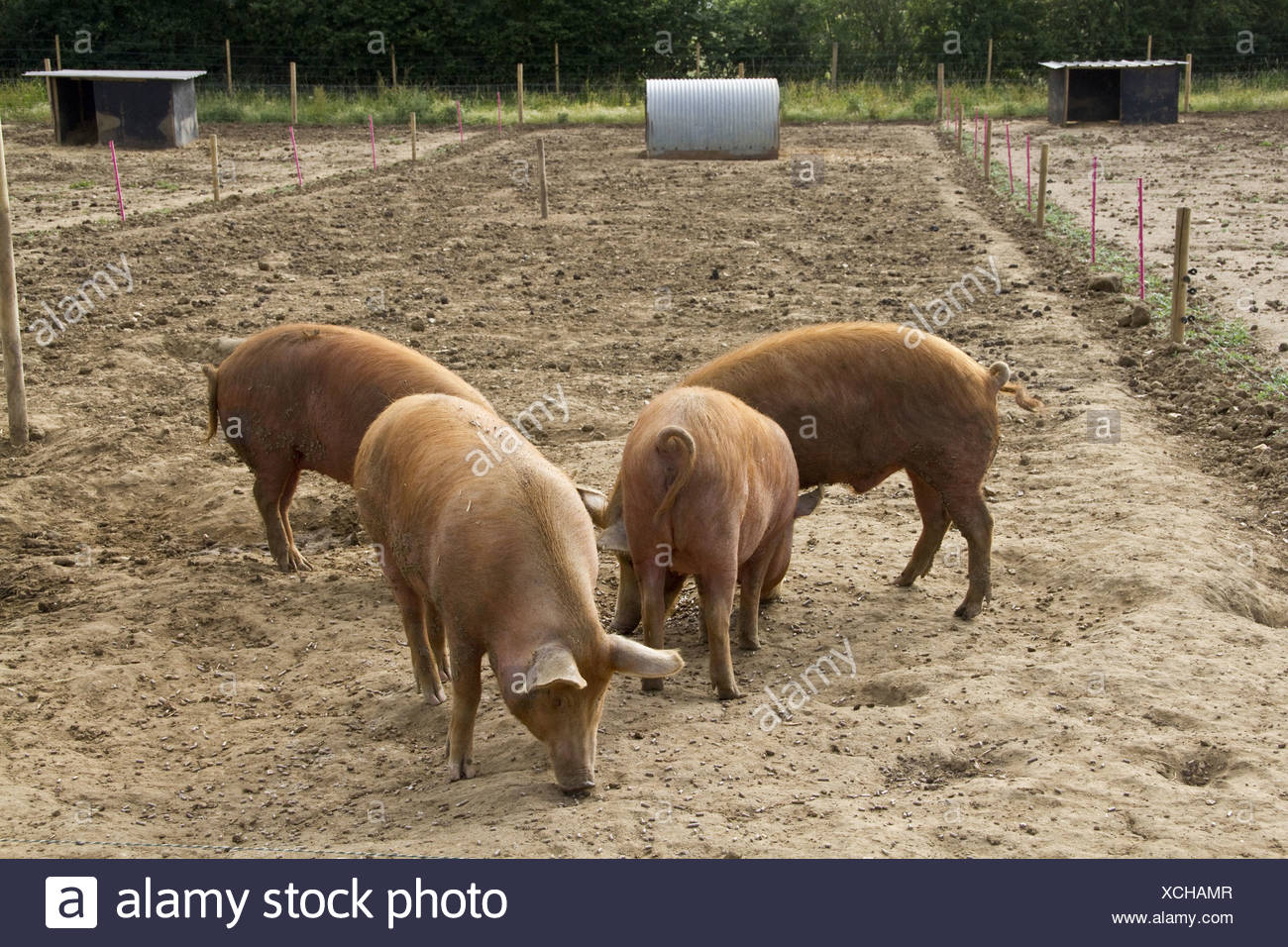 Tamworth Pigs Feeding On Pignuts Stock Photo 283123367 Alamy