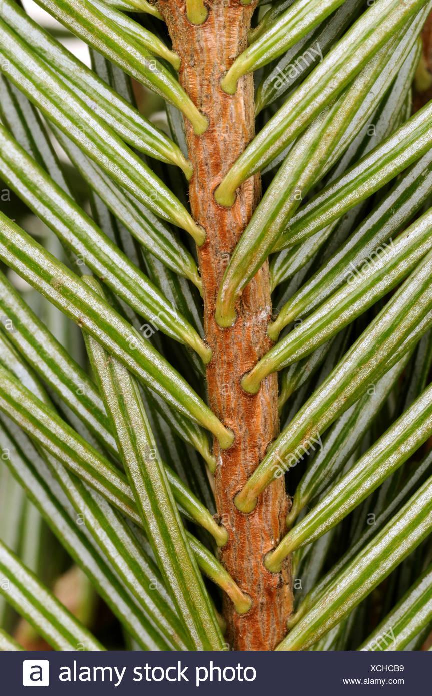 Nordman fir (Abies nordmanniana), branch, underside Stock Photo