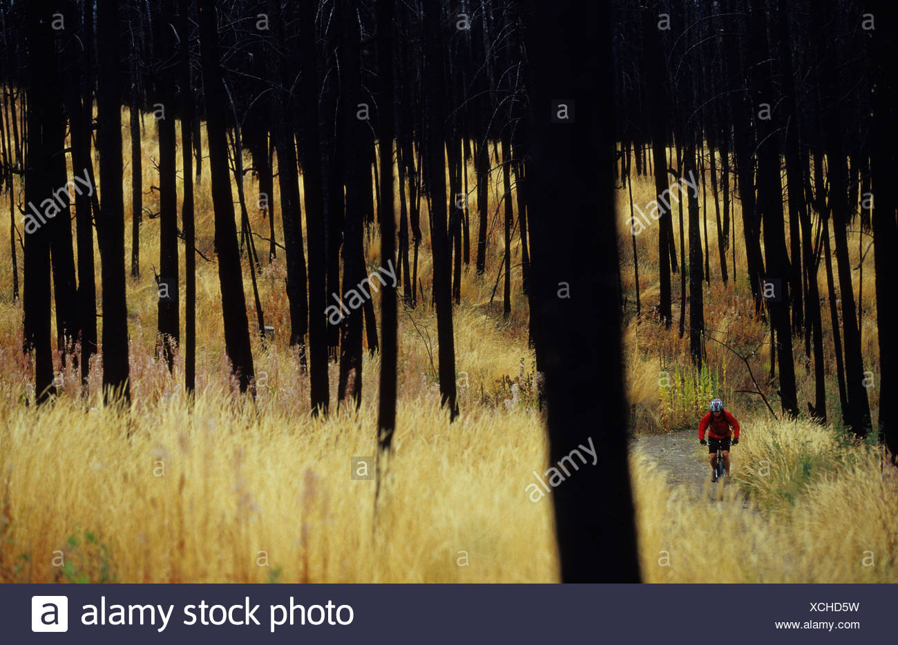 A woman on her mountain bike enjoying the trails in the burnt forest in Kelowna, British Columbia, Canada - Stock Image