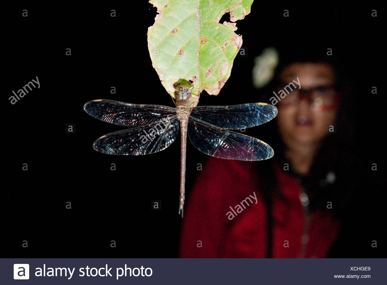 A dragonfly sleeps during the night clinging to a leaf; while a young woman looks in amazement at the insect in the background. - Stock Image
