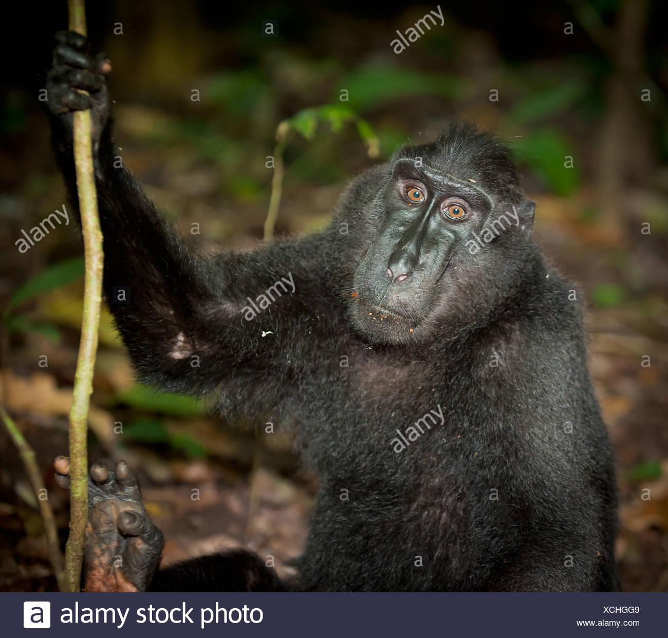 Black macaque, Sulawesi, Indonesia - Stock Image