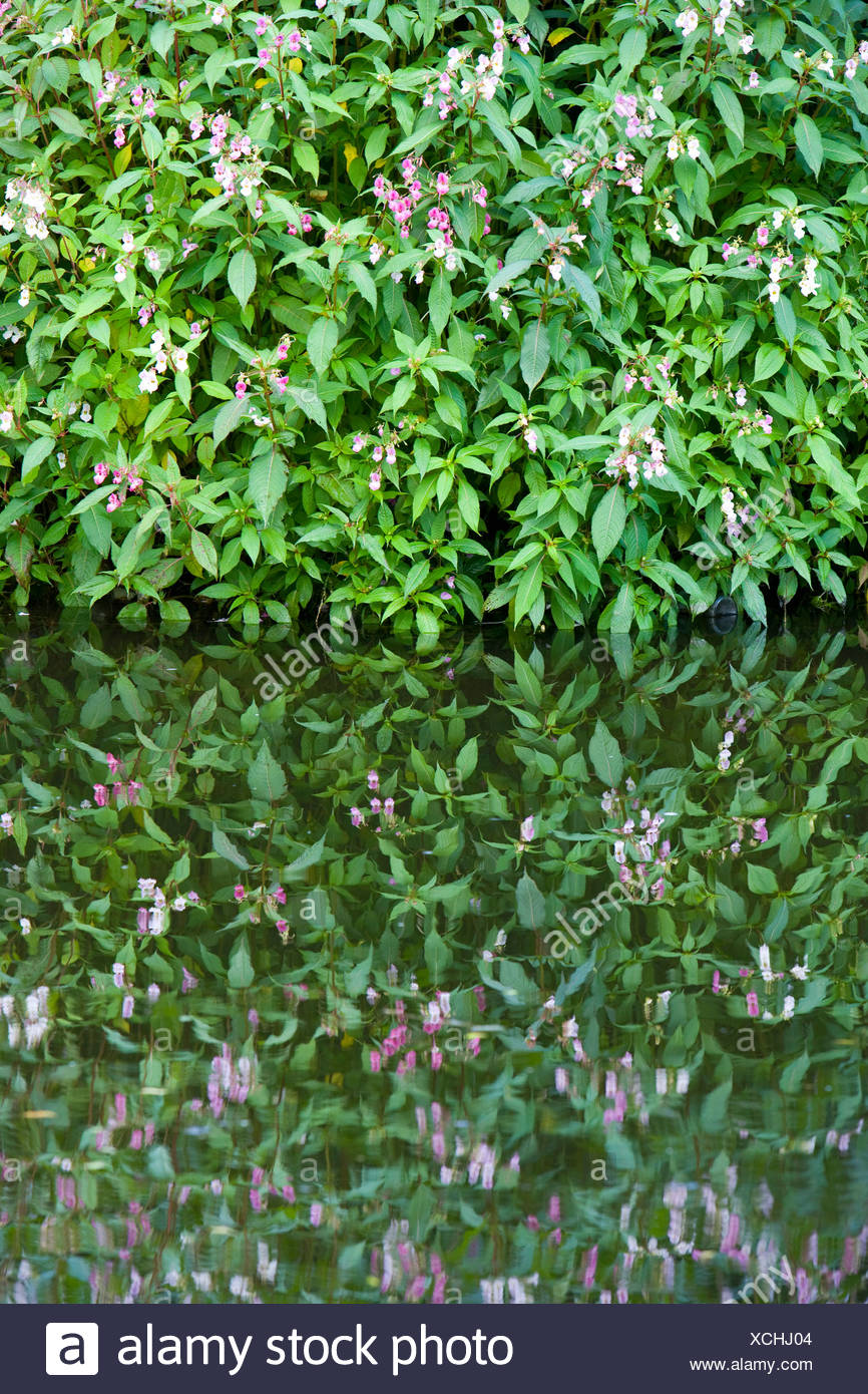 Himalayan Balsam, Impatiens glandulifera, growing by a canal. UK - Stock Image