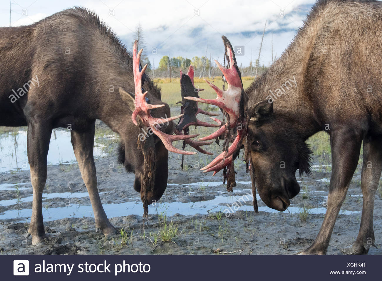 Bull moose (alces alces) just coming out of shedding its velvet and antlers look a little red,  Alaska Wildlife Conservation Centre - Stock Image