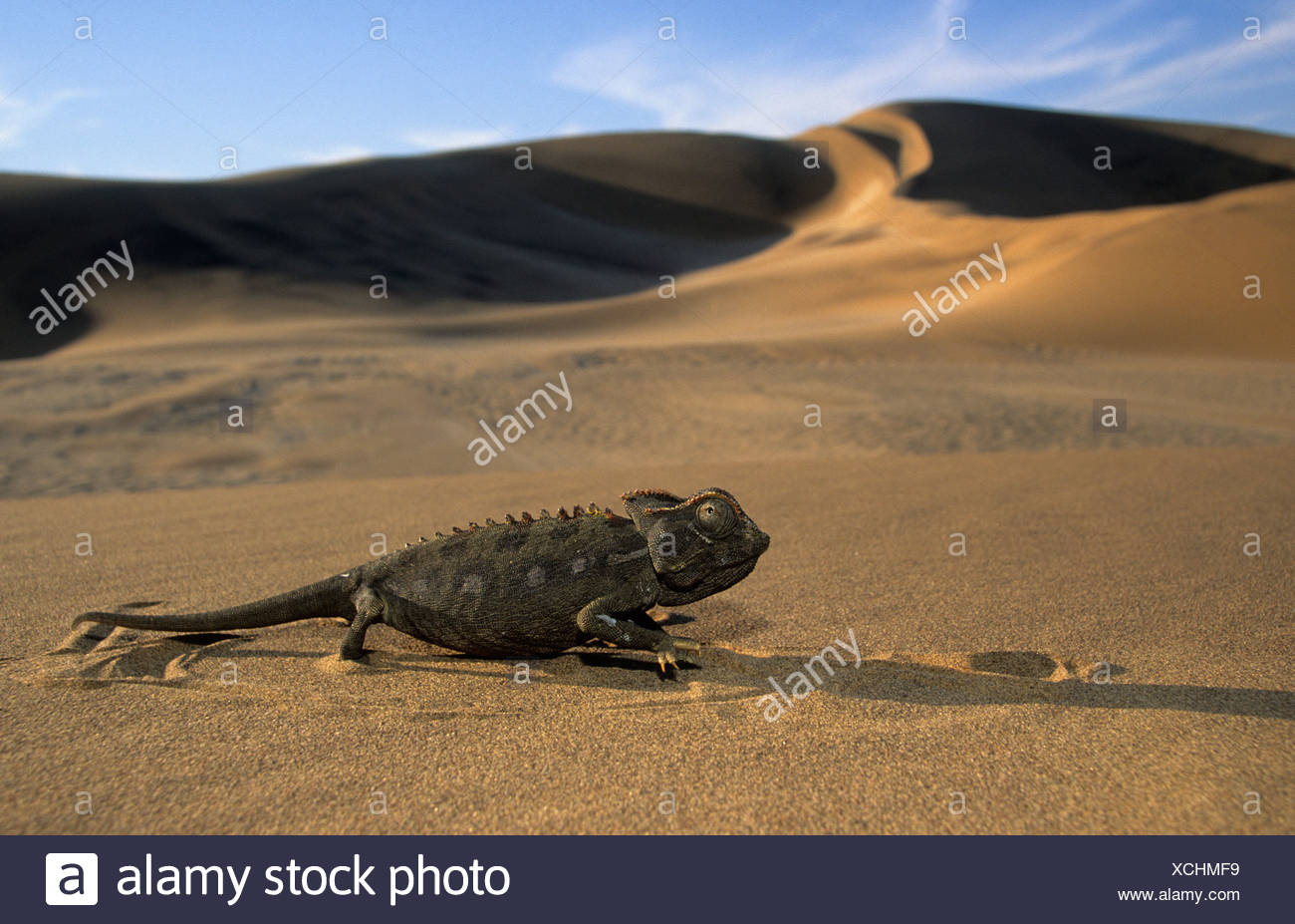 Namaqua Chamaeleon (Chamaeleo namaquensis), in the desert, Namib Desert, Namibia, Africa Stock Photo