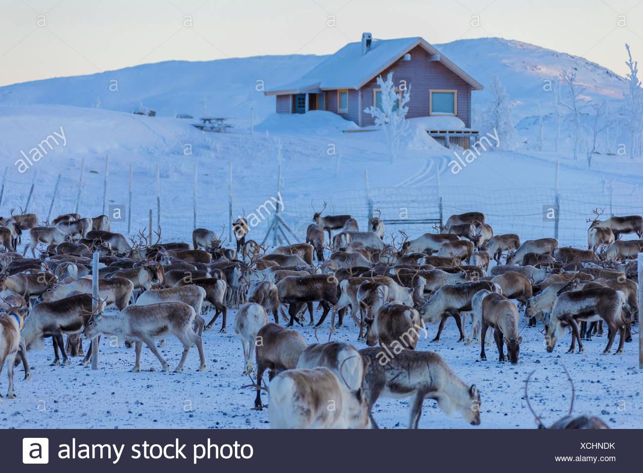 Herd of reindeer, Abisko, Kiruna Municipality, Norrbotten County, Lapland, Sweden - Stock Image