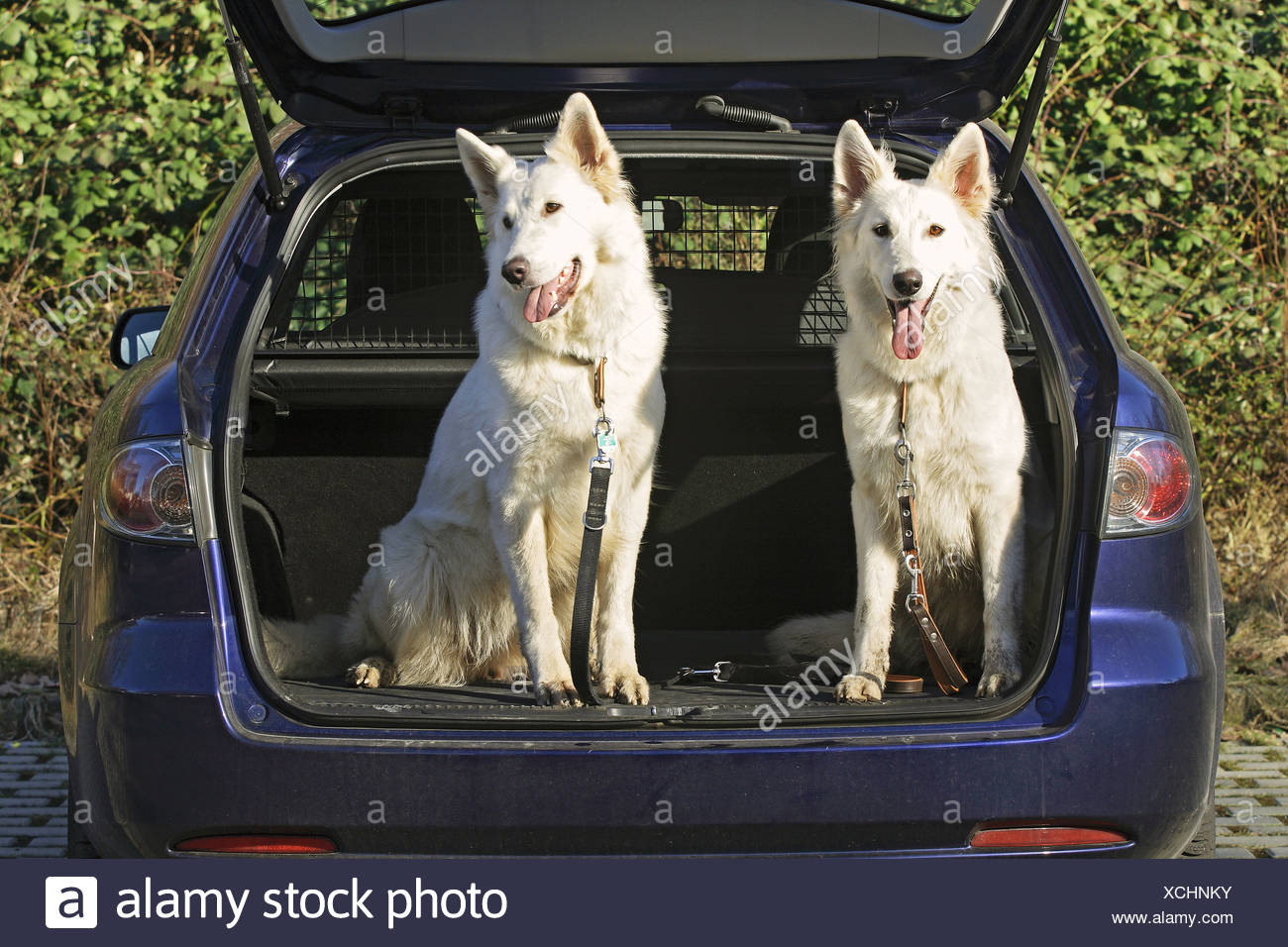 two White Swiss Shepherd dogs - sitting in car trunk - Stock Image