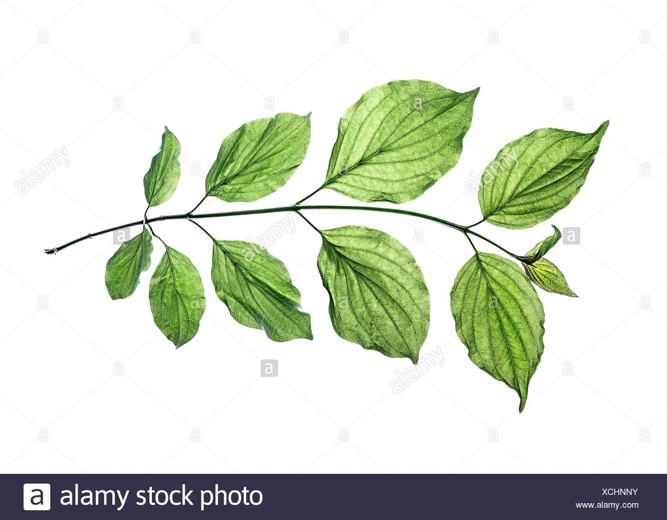 Twig of Philadelphus - Stock Image