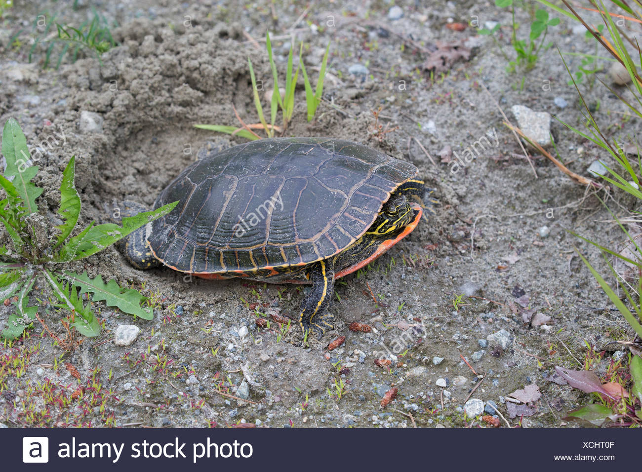 Western painted turtle (Chrysemys picta bellii), female using her hind legs to fill in her nest cavity where she has just laid a clutch of eggs, Nicomen Slough, Agassiz, British Columbia, Canada - Stock Image