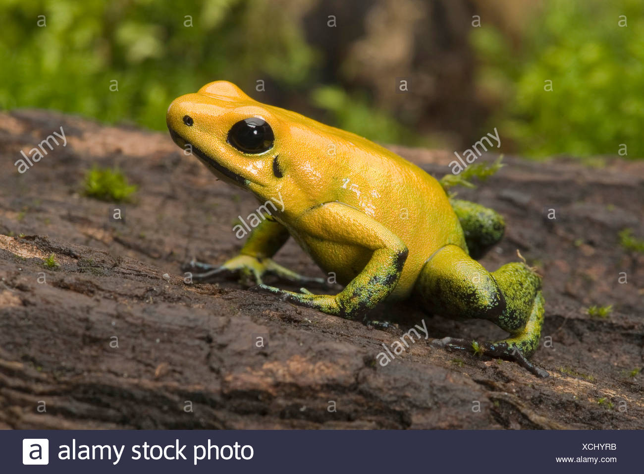 Black-Legged Poison Frog (Phyllobates bicolor), on bark Stock Photo