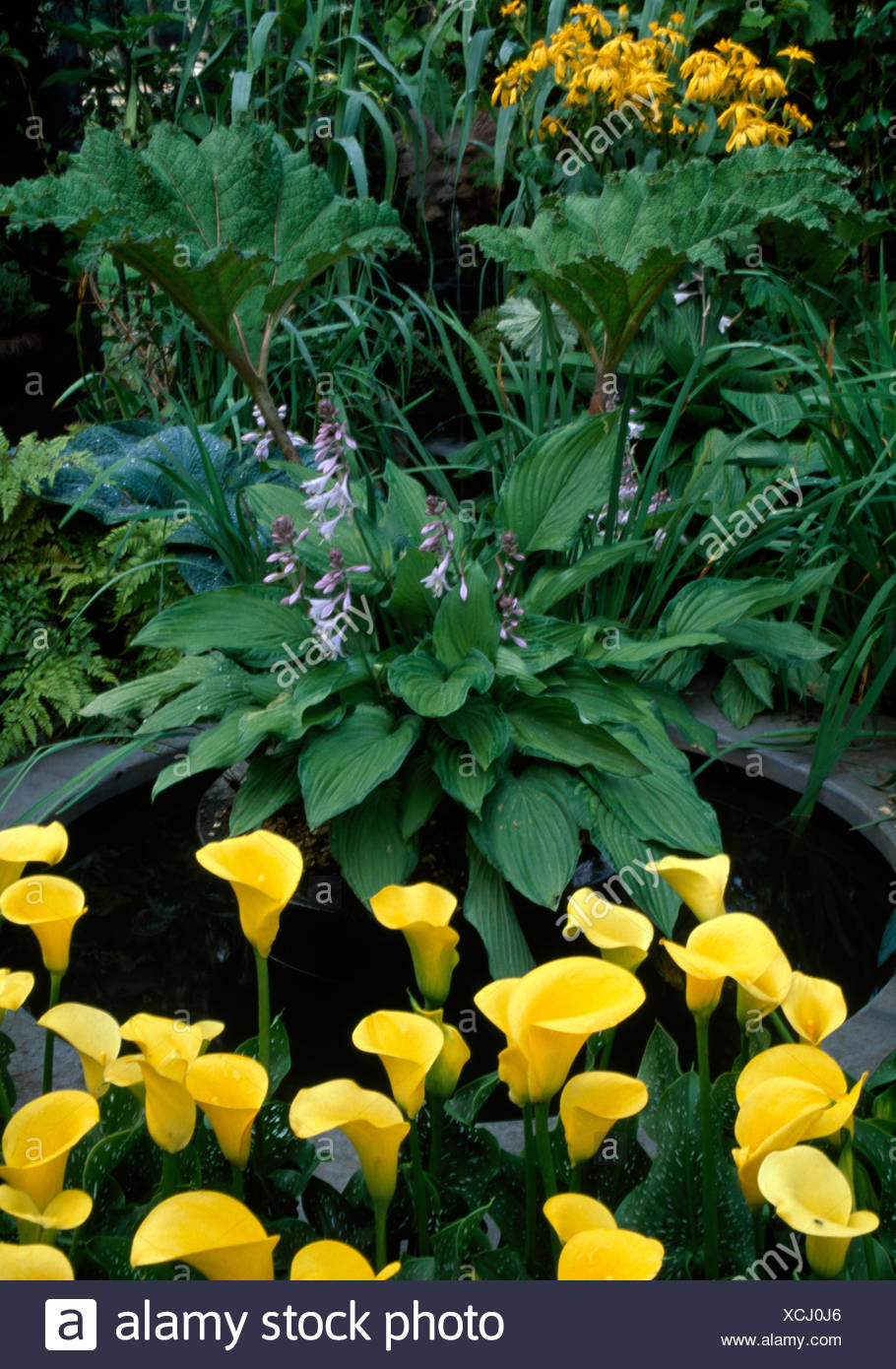 Close Up Of Yellow Calla Lilies And A Flowering Hosta Beside Small