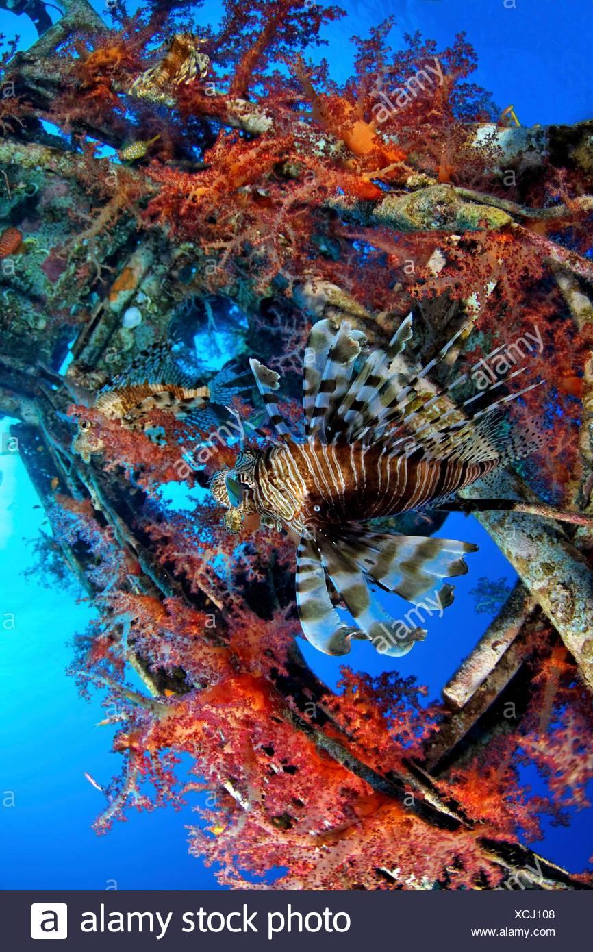 Rotfeuerfisch, Pterois volitans,Stachelflosser, Acanthopterygii,Weichkoralle,Einzelnes Tier,schwimmen,Schiffsmast, Mast,Schiffsw - Stock Image