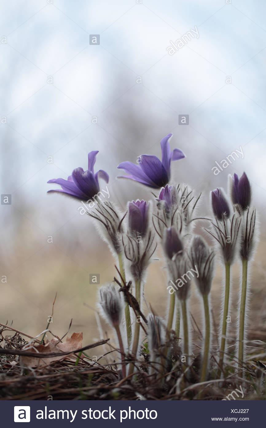 Great pasqueflower, Pulsatilla grandis, in early spring. - Stock Image