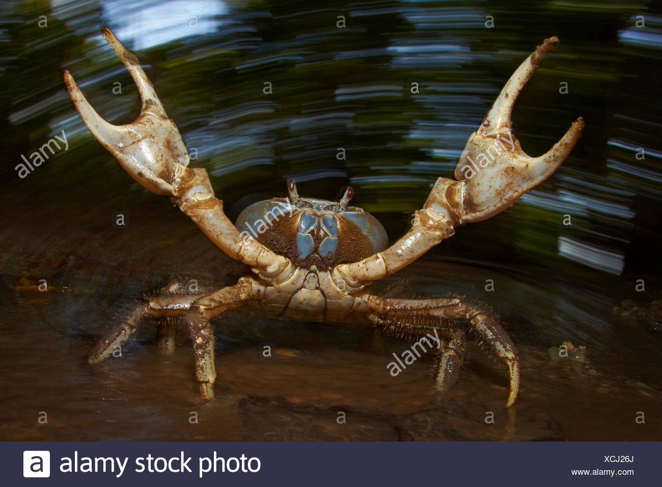 Blue Crab (Discoplax hirtipes) with claws raised in defensive / aggressive posture, endemic to Christmas Island, Indian Ocean, Australian Territory - Stock Image