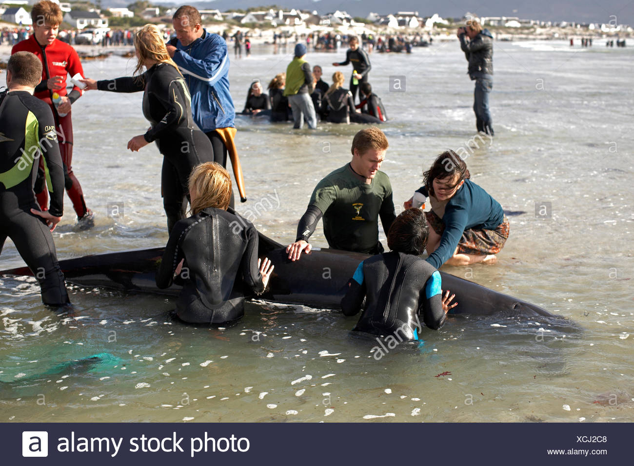 Beached whale rescue - Stock Image