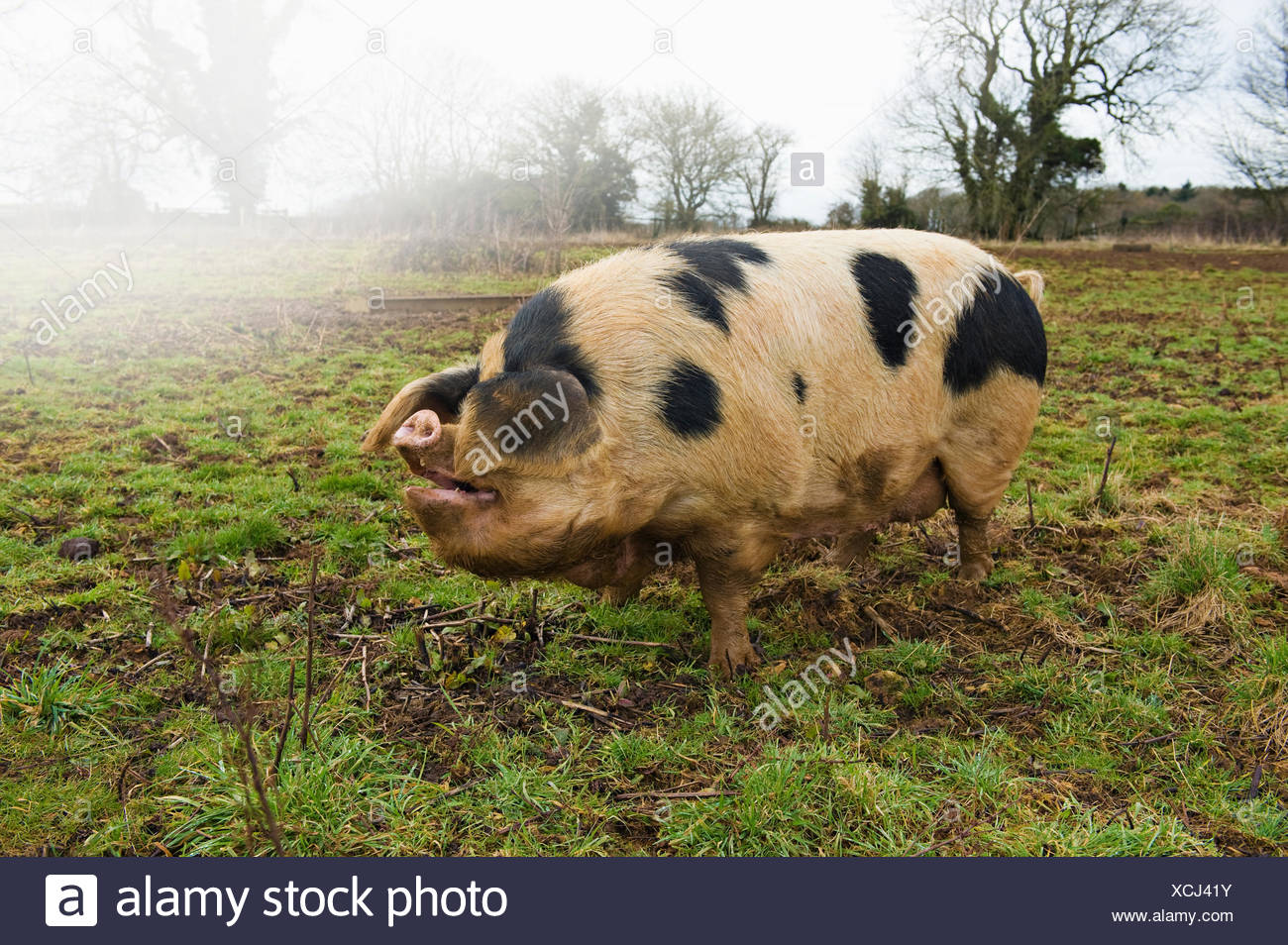 A large adult pig with black markings in an open field. - Stock Image