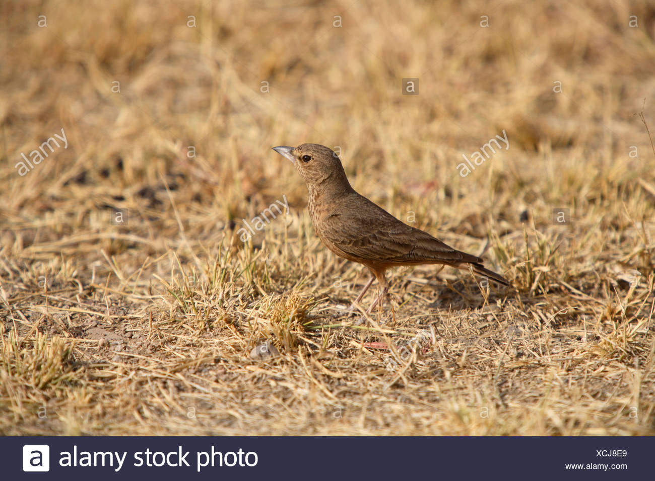 Rufus tailed lark, Ammomanes phoenicurus, at Rann of Kuchh, Gujrat, India. - Stock Image