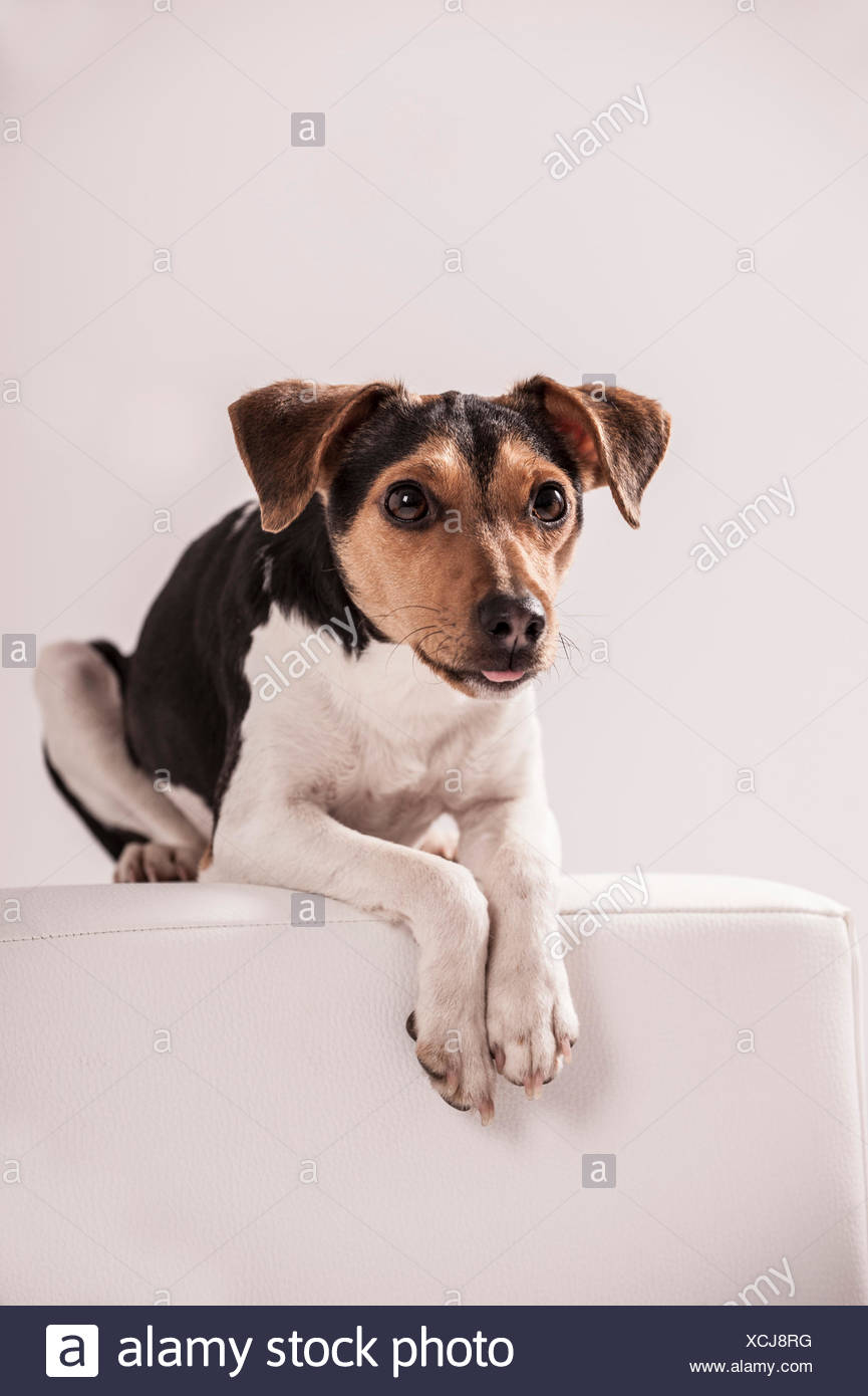 Danish Swedish Farmdog lying on a stool Stock Photo