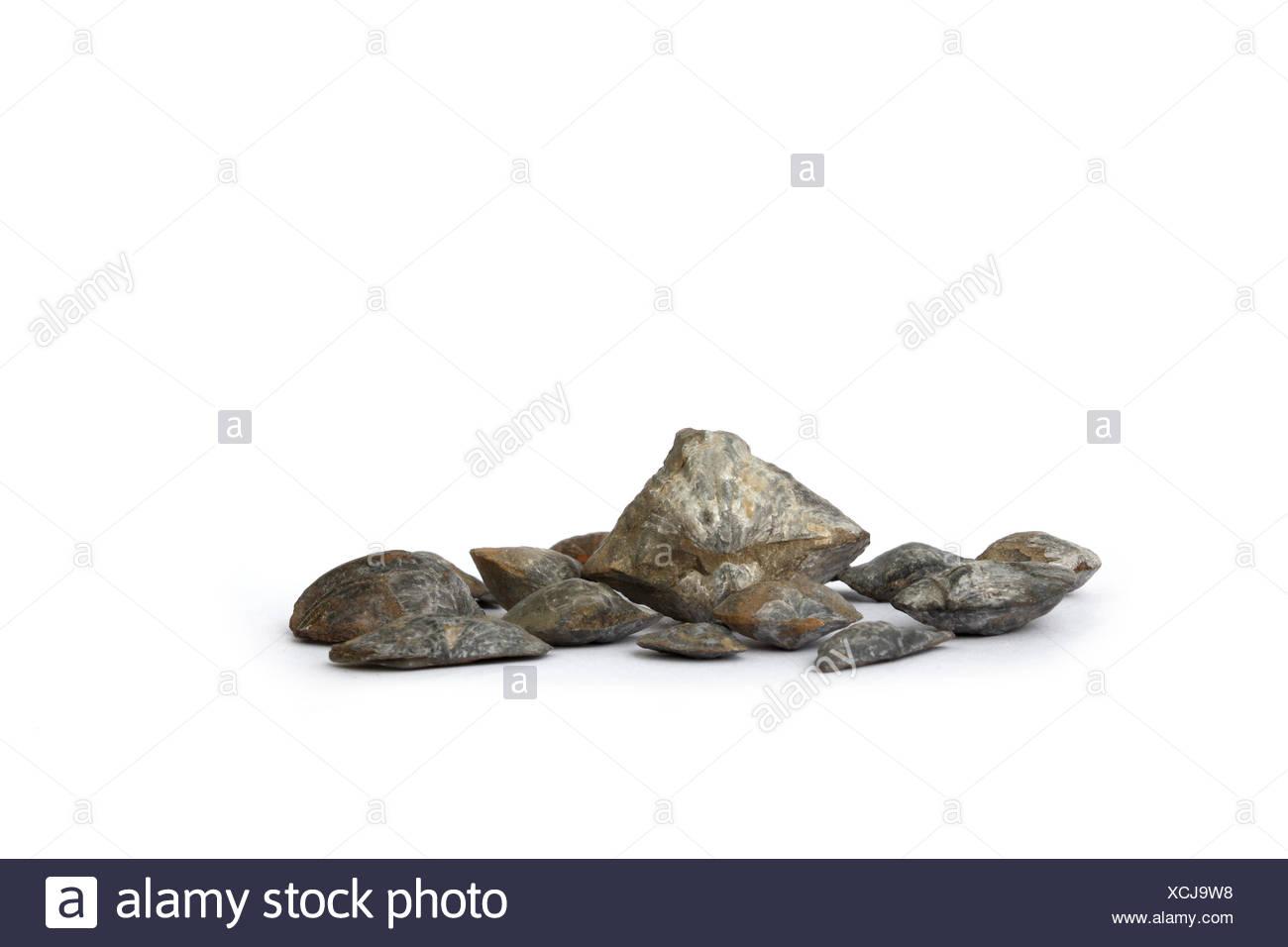Fossil brachiopods - Stock Image