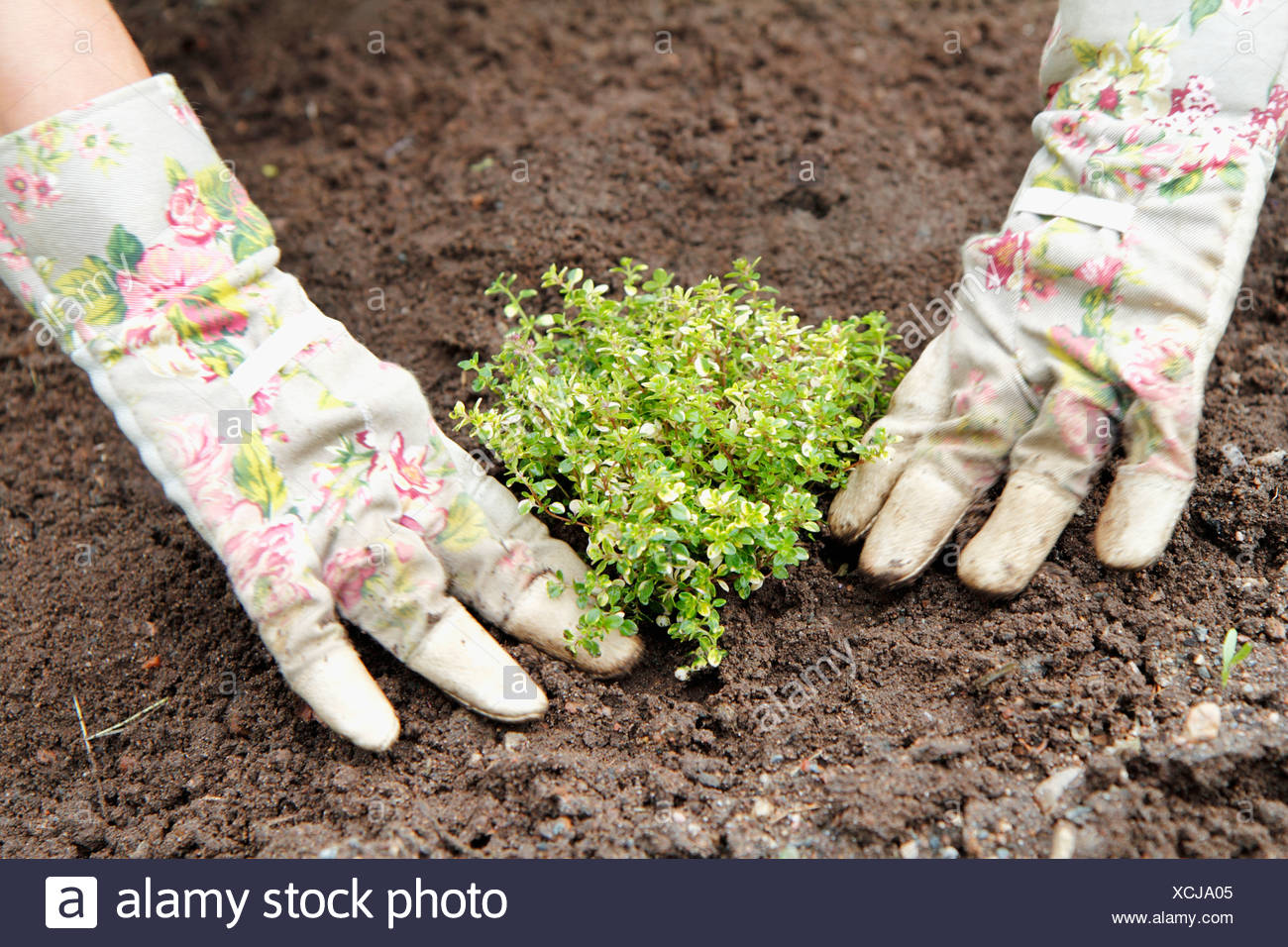 Hands planting thyme - Stock Image