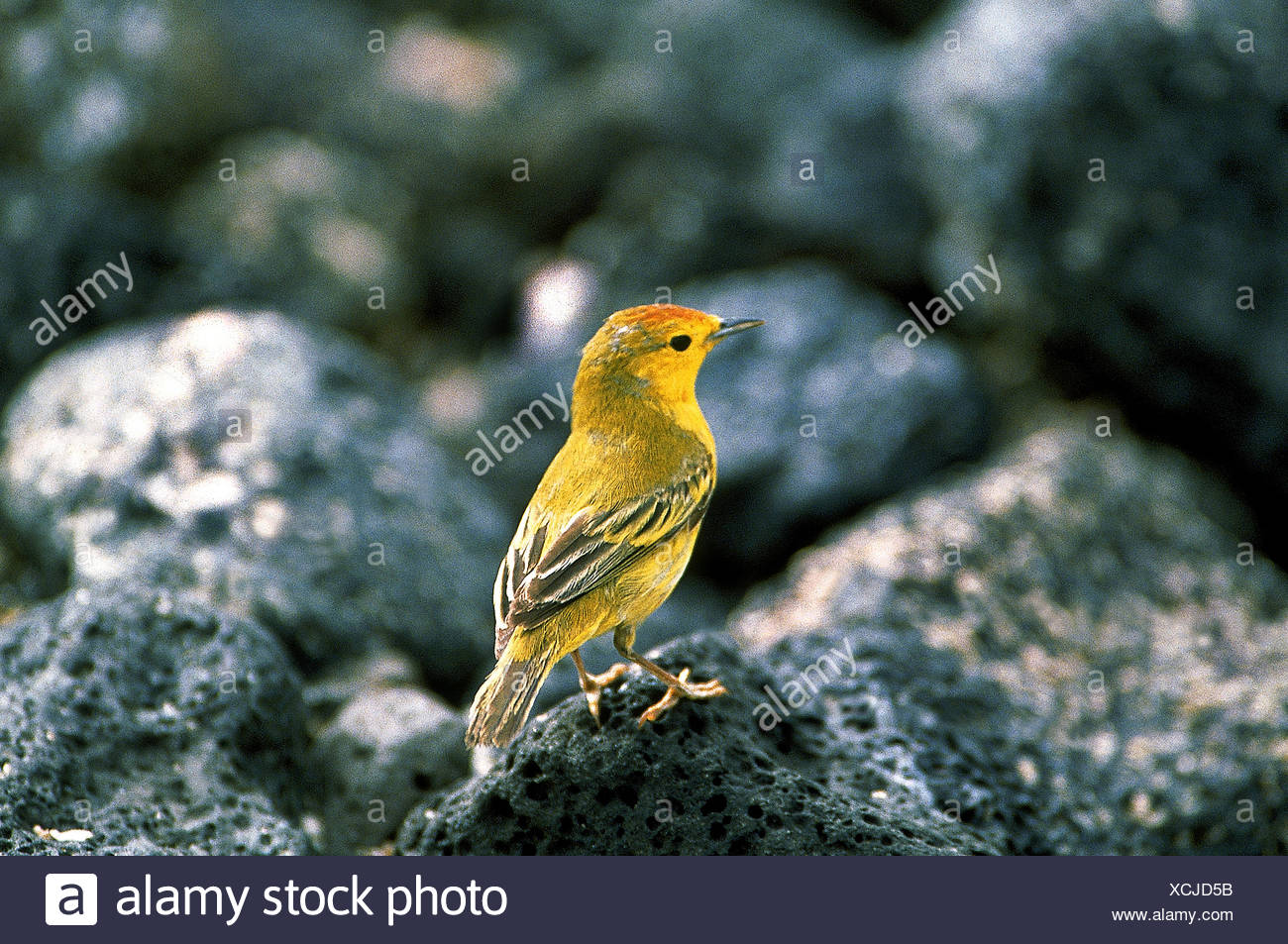 Yellow Warbler, dendroica petechia, Adult on Stone, Galapagos - Stock Image