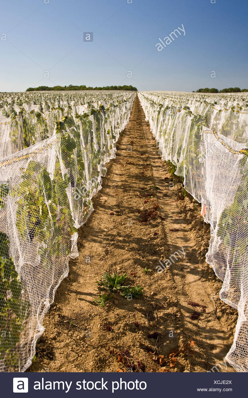 Netting used to protect grapes from birds at vineyard in Niagara Peninsula, Ontario, Canada. - Stock Image