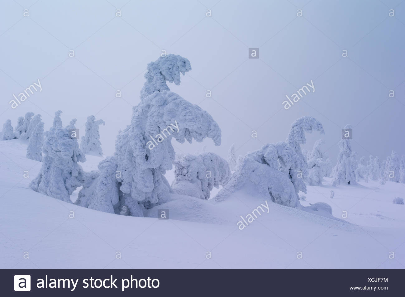 Harz National Park, Lower Saxony, winter, spruces at the Brocken - Stock Image