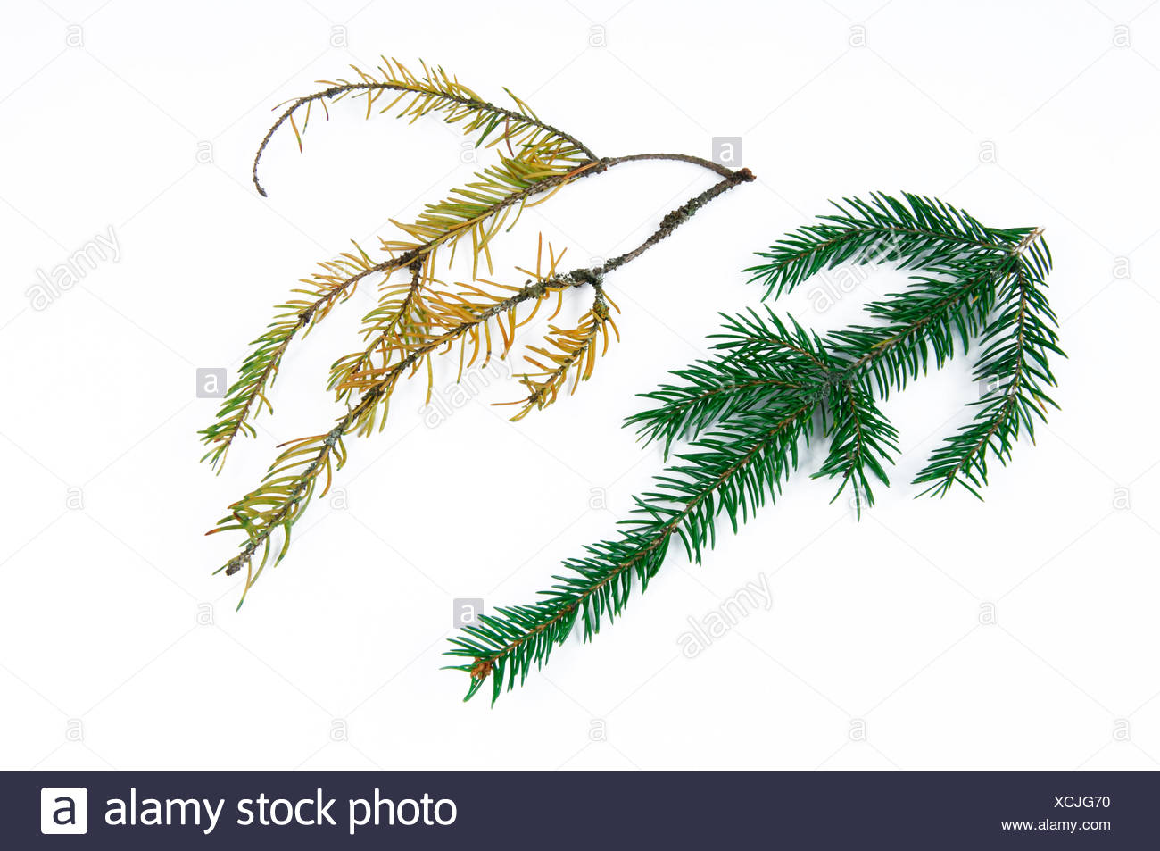 Norway Spruce, Common Spruce (Picea abies). Healthy and seriously damaged twig with fallen off needles and discoloration of needles. Studio picture against a white background. Germany - Stock Image