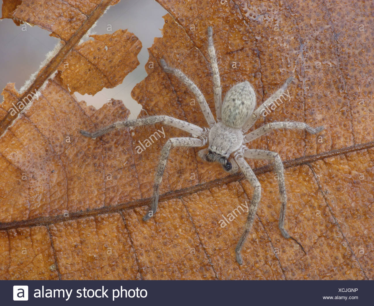 Mountain Huntsman Spider (Isopeda montana) young instar