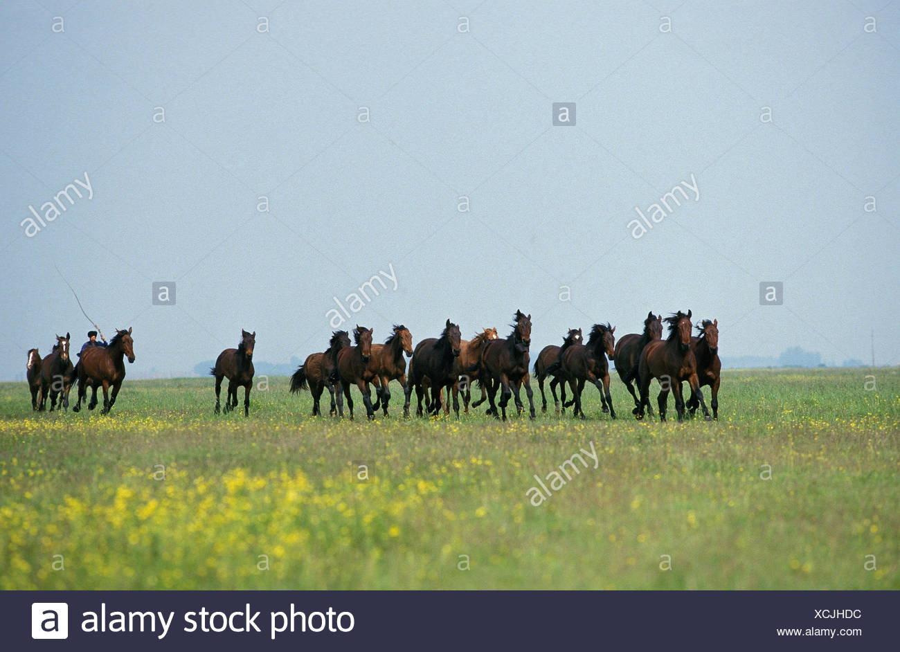 Vernier horses, focuses in Puszta, Hungary, - Stock Image