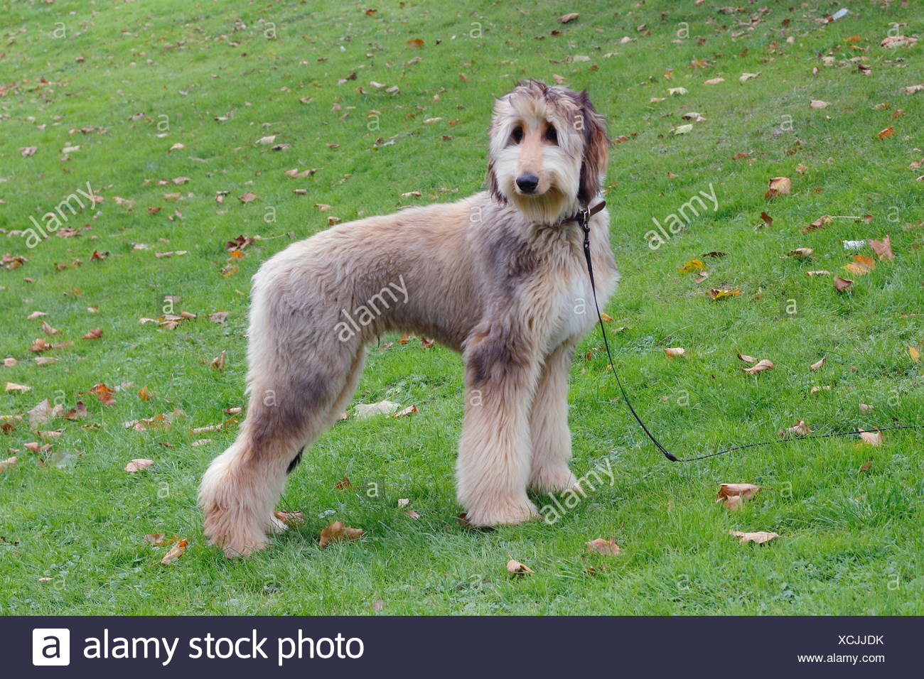 Afghan hound dog standing in a meadow, Germany Stock Photo