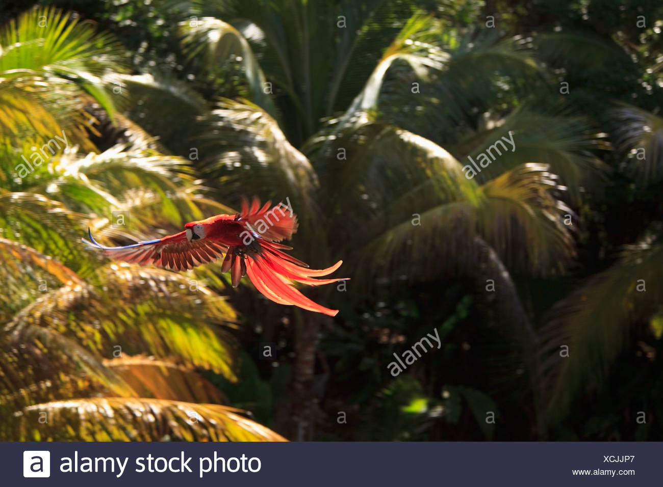 Roatan, Bay Islands, Honduras; Scarlet Macaws (Ara Macao) In Flight In The Forest Preserve - Stock Image