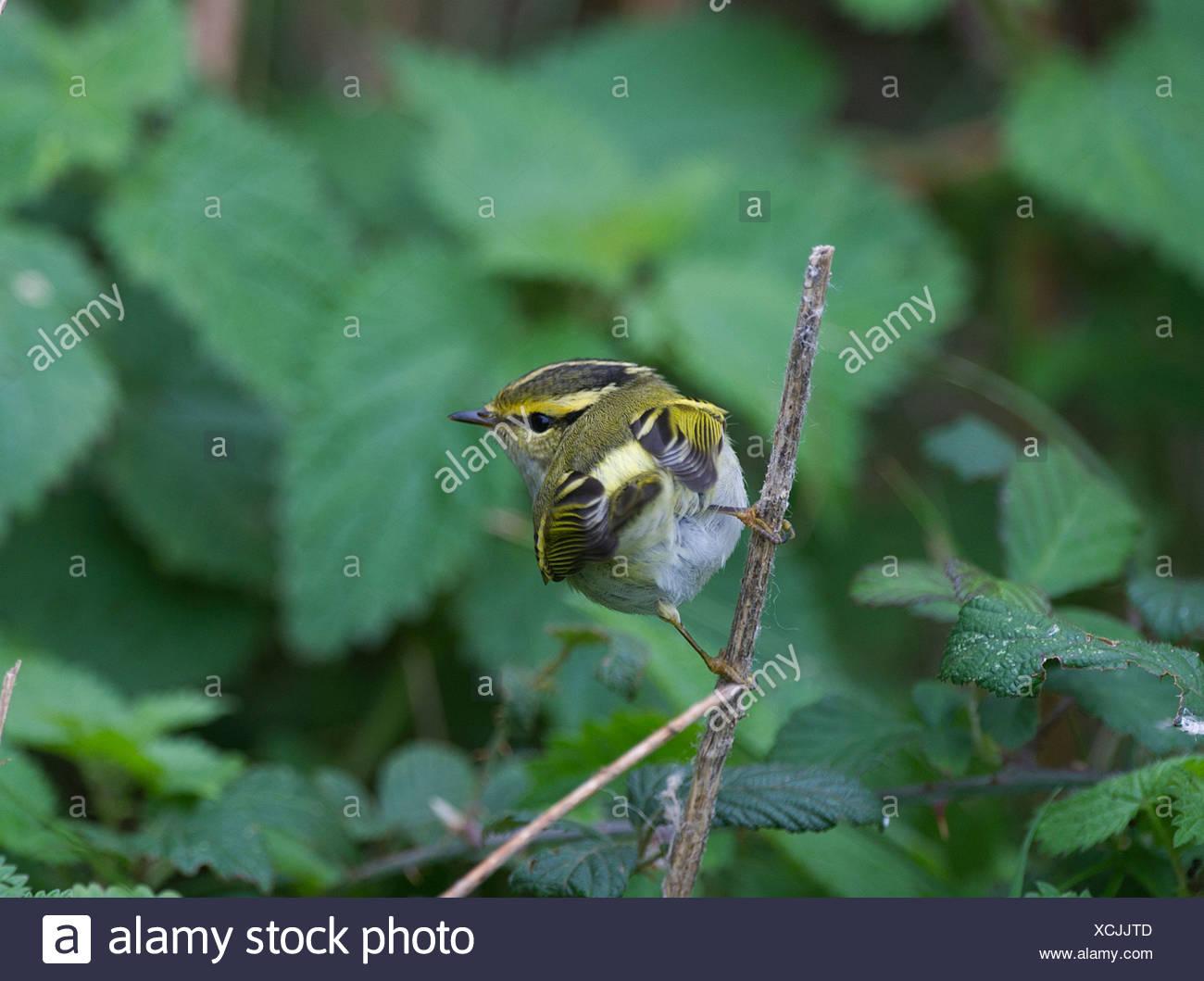 Pallas's Warbler Phylloscopus proregulus Burnham Overy Norfolk Oct 2010 Stock Photo