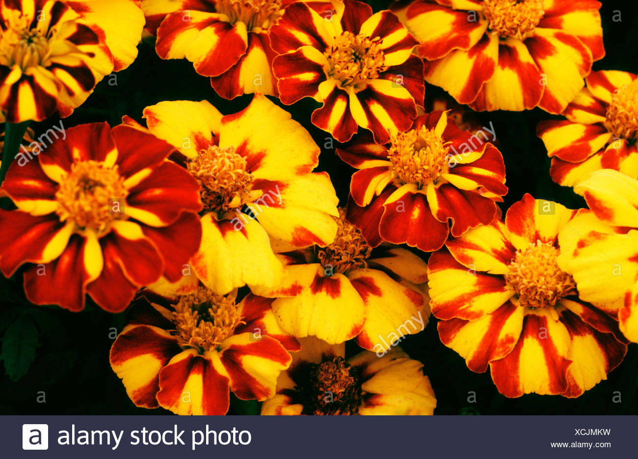 French marigold (Tagetes patula), cultivar Dainty Marietta - Stock Image