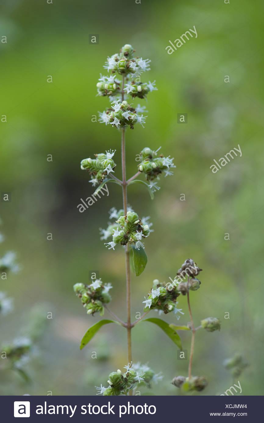 marjoram, majorana hortensis - Stock Image