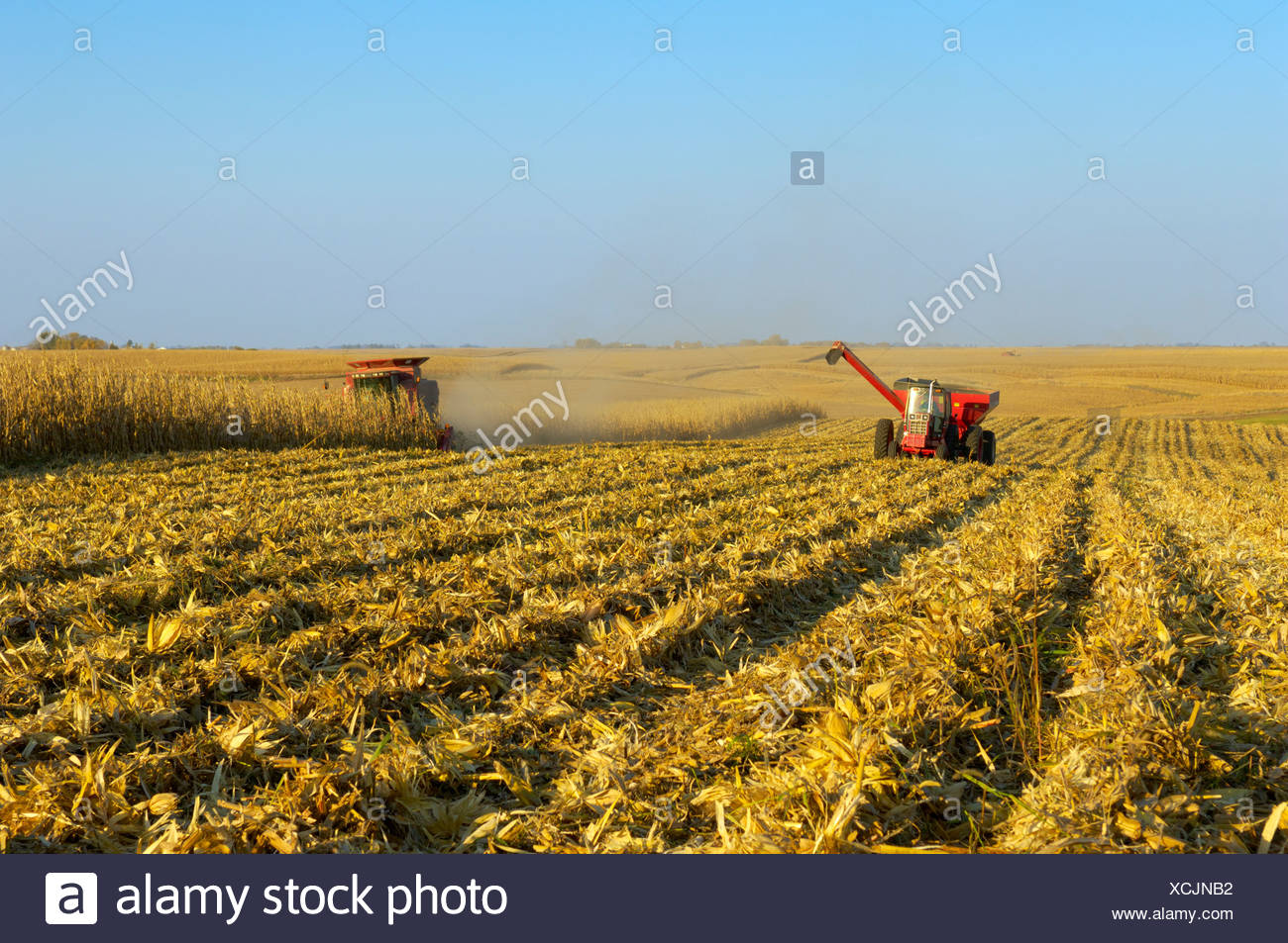 A combine harvests a crop of grain corn in a large grain field, with a grain cart running alongside nearby / Iowa, USA. - Stock Image