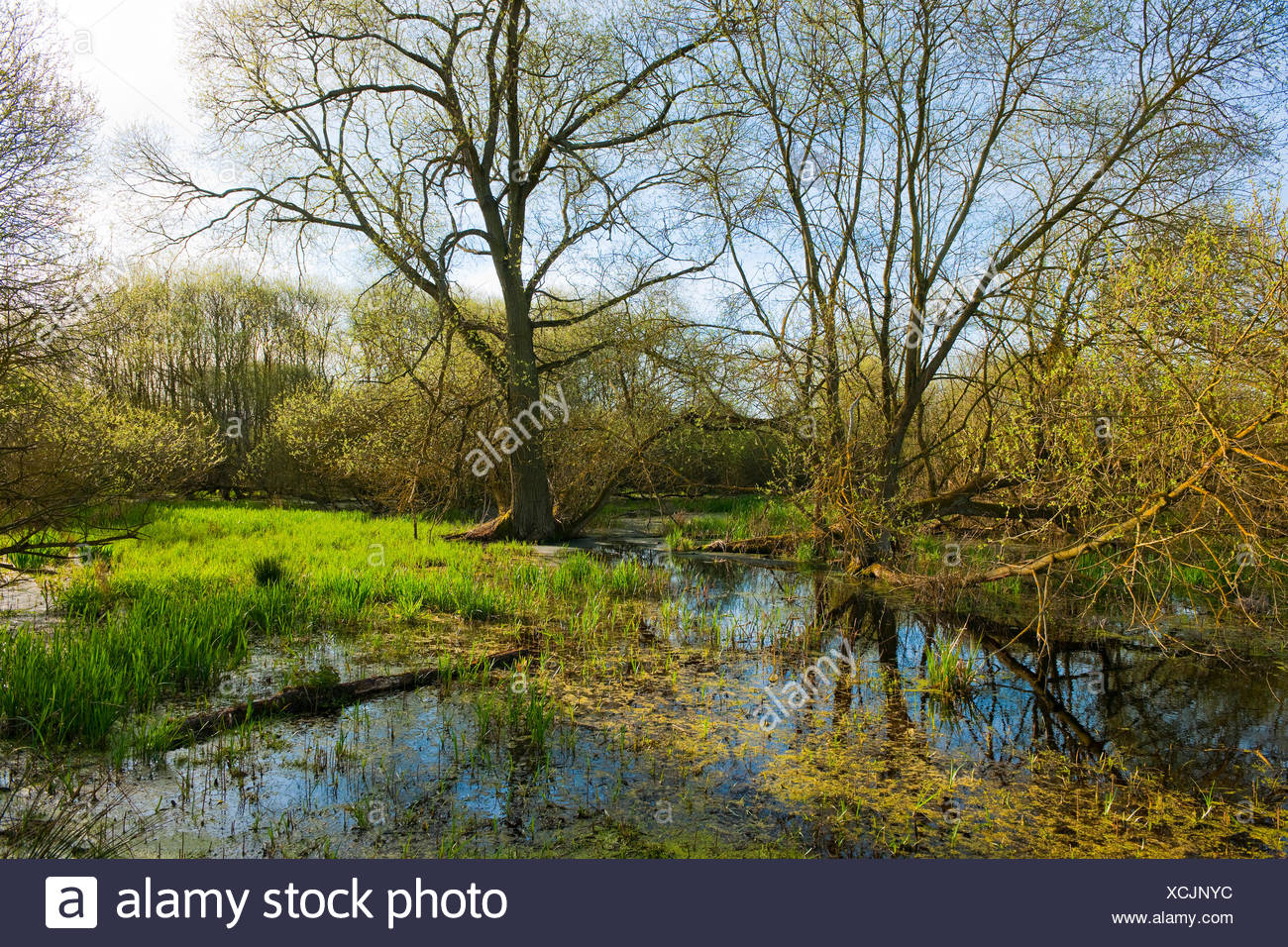 Softwood floodplain with willow (Salix sp.) trees in spring, Drömling nature reserve, Lower Saxony, Germany - Stock Image