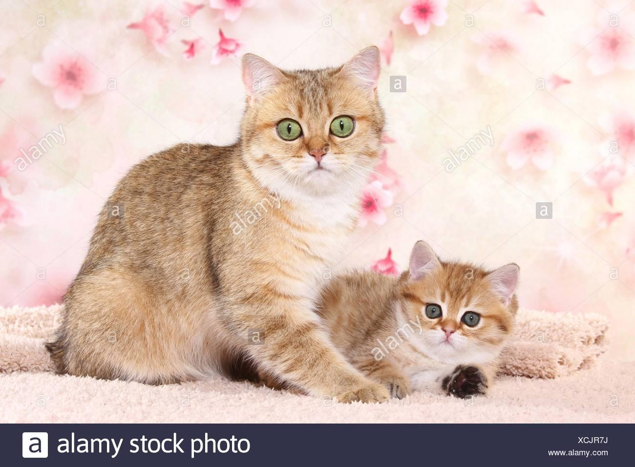 British Shorthair Cat Kitten Black Golden Shaded Stock