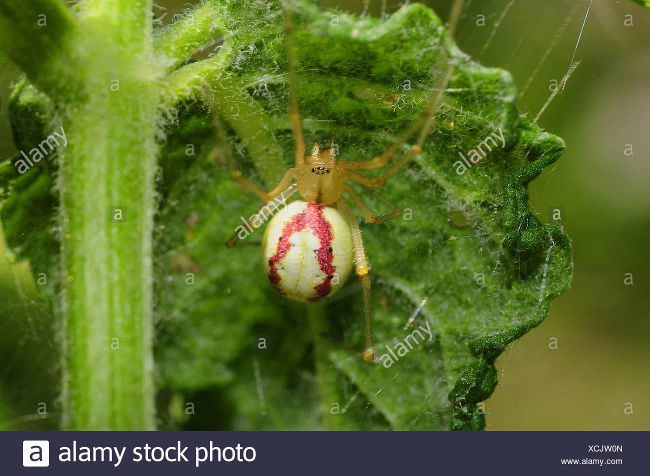 Spider, Enoplognatha ovata - Stock Image
